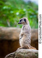 Meerkat (Suricata suricatta) sentry