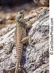 Sling-tailed Agama climbing on a rock - Sling-tailed Agama...