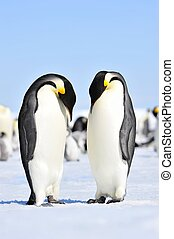 Emperor Penguins Snow Hill, Antarctica 2010 on the...
