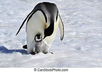 Emperor Penguin with chick Snow Hill, Antarctica 2010 on the...