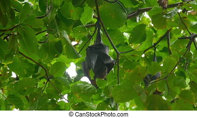 Flying fox hanging on a tree branch - Lyle's flying fox...