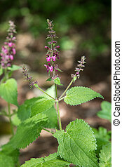 Hedge woundwort, or Forest-Ziest, Stachys sylvatica, with...
