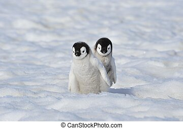 Emperor Penguin chiks Snow Hill, Antarctica 2010 on the...