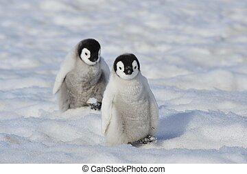 Emperor Penguin chicks Snow Hill, Antarctica 2010 on the...