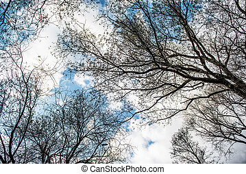 View of leafless treetops from the ground during winter. -...