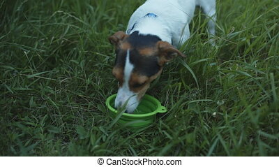 Dog drinks from the bowl of water. - Small dog breed Jack...