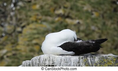 Black browed Albatross on rock in Falklands