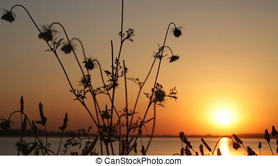 Low Horizon Sunset Backlit Wild Plant Silhouette - Low...