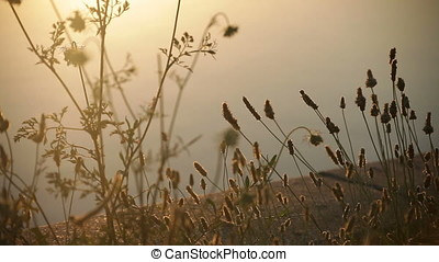 Sunset Backlit Wild Herbs Silhouette Pan - Sunset backlit...