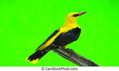 Eurasian Golden Oriole (Oriolus oriolus) isolated on a green...