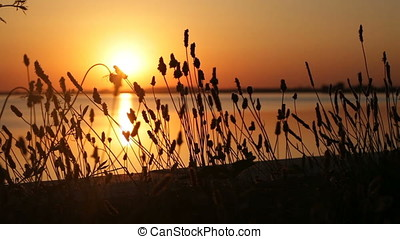 Sunset Backlit Wild Plants Silhouette - Sunset backlit wild...