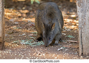 Tasmanian Pademelon nibbling its lunch on the ground in...
