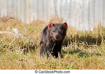 Tasmanian devil walking on green field in the sun, afternoon...