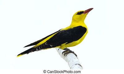 Eurasian Golden Oriole (Oriolus oriolus) isolated on a white...