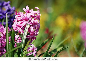 Hyacinths - Pink hyacinths (Hyacintus orientalis) flower in...