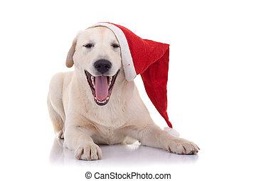 Labrador retriever laughing - Puppy Labrador retriever...