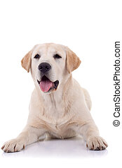 panting labrador retriever - picture of a panting labrador...