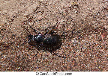 Small ground beetle crawl up the wall. Animals wildlife.