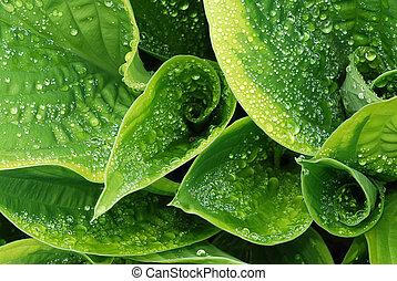 Drops on hosta leaf - Drops of dew water on a fresh green...