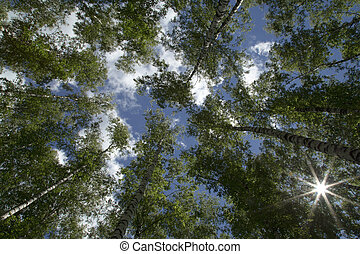 View of Tree Tops from Below on a background of blue sky with clouds.