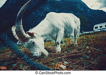 Goat with big horns in yard. Looking through fence. Film...