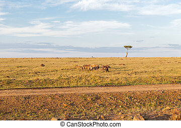 clan of hyenas in savannah at africa - animal, nature and...