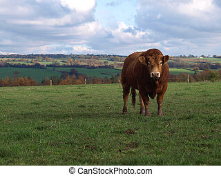 A Young Limousin Beef Bull - A brown limousin beef cow in...