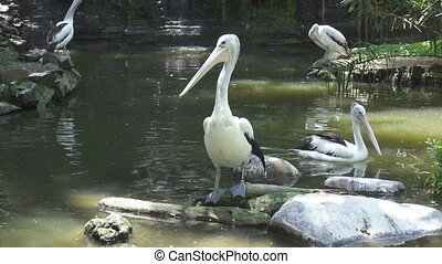 Pelicans are a genus of large water birds that makes up the...