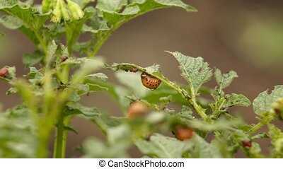 colorado beetles its larvae sitting on the leaf of potato.