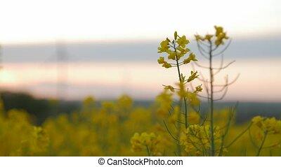 Wind power station in field with rape oil seed plants.