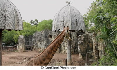 Giraffe (Giraffa camelopardalis) chewing food in paddock....