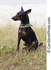 Portrait of a doberman pinscher puppy. On green grass in...