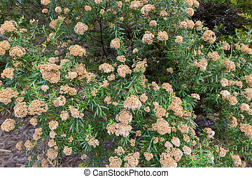 Flowers of tree everlasting shrub, Ozothamnus ferrugineus in...
