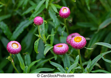 Strawflower flower, golden everlasting in pink grown in...
