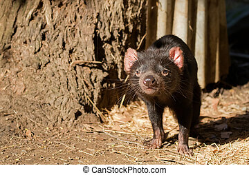 Tasmanian devil walking sniffing the air in the sun,...