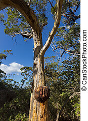 Large Burl (burr) forming on Eucalyptus gum tree trunk -...