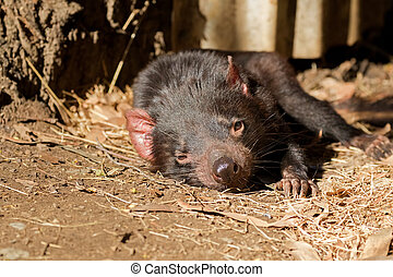 Tasmanian devil resting on ground in the sun, afternoon in...