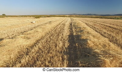 Pointer pedigree dogs in cultivated wheat field - Sliding...