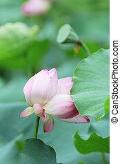 beautiful lotus flower in blooming at pond - shing mun...
