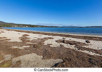 Dried brown seagrass seaweed washed ashore on Georges Bay in...
