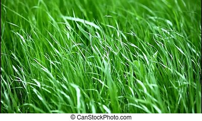 Green grass on the wind