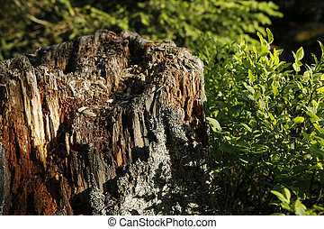 old rotten tree stump and bilberry bush