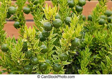 Homegrown Kumquat, Cumquat Chinoti plant (Citrus japonica)...