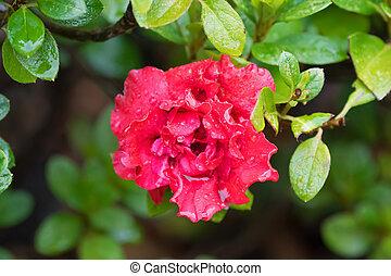 Wet Azalea Indica Goyet, frilly double flower in red...
