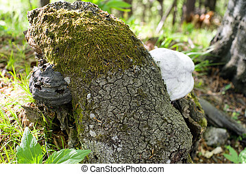 Wood-decay fungus - Black and white wood-decay fungus
