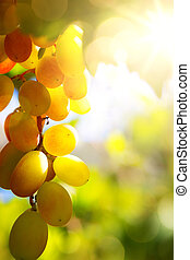 Art vineyard background; summer Grape fruit - vineyard...