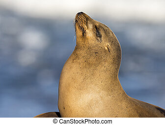 Closeup of a wild California Sea Lion - San Diego,...