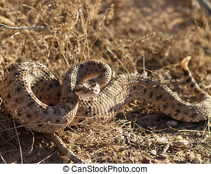Angry Side-Winder - An angry rattlesnake native to Arizona...