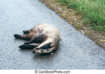 Dead badger on the road, selective focus