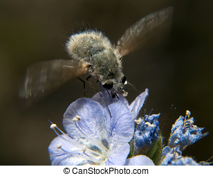 Arizona Hoverfly feeeding